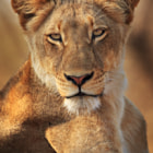 Another portrait of one of the beautiful Jacaranda pride lionesses we encountered on day three of our safari in the Motswari Private Game Reserve in the Timbavati region of Kruger Park, Mpumalanga, South Africa.