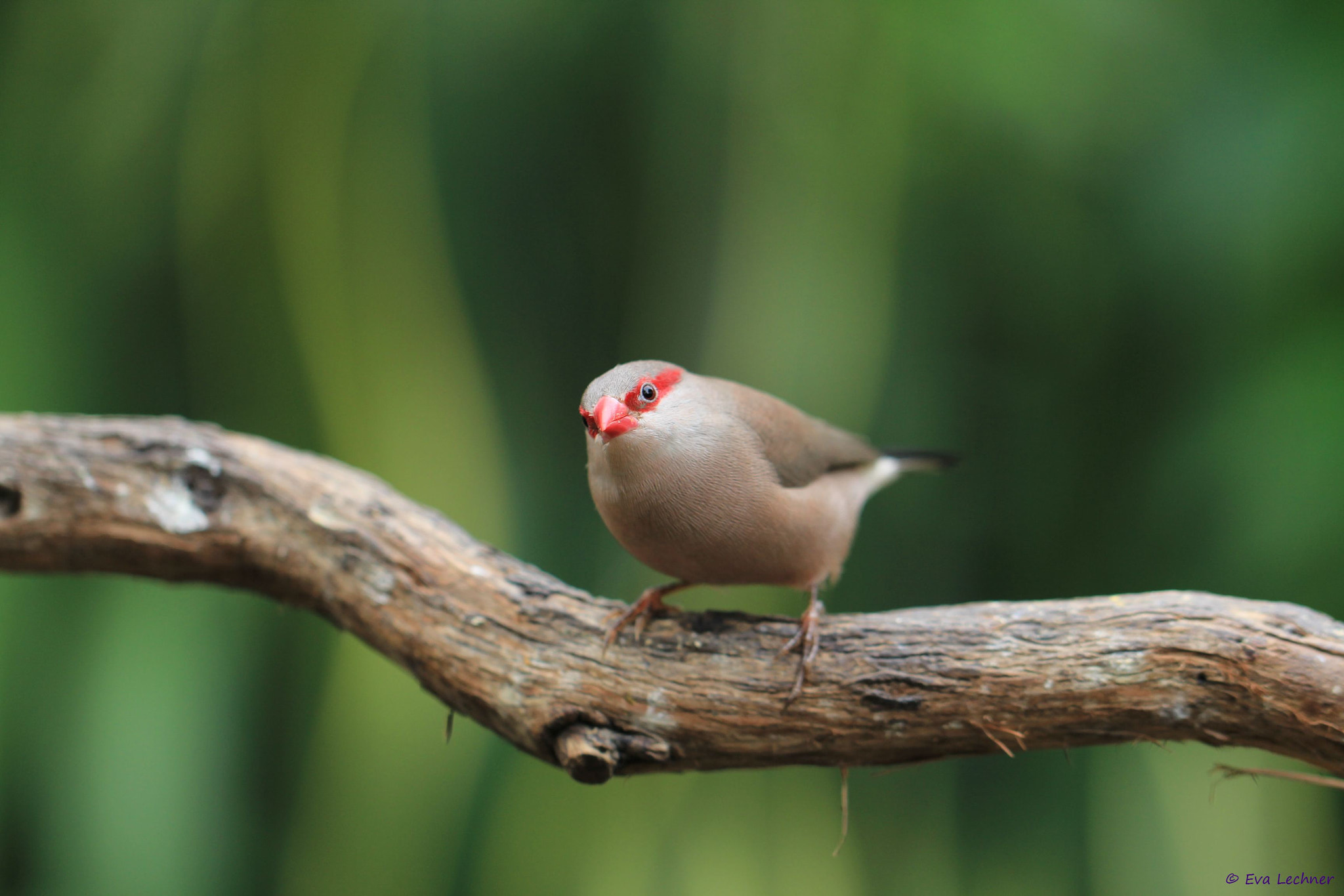 Photograph Red-eared Waxbill by Eva Lechner on 500px