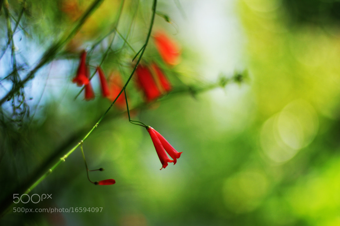 Photograph Red-Bell Flower by Ahmed John on 500px