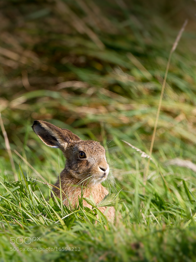 Photograph Lonely Leveret by Mark Medcalf on 500px