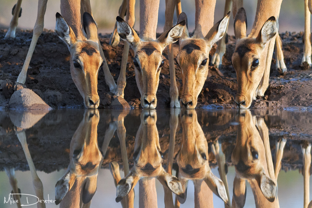 Photograph Impala Drink by Mike Dexter on 500px