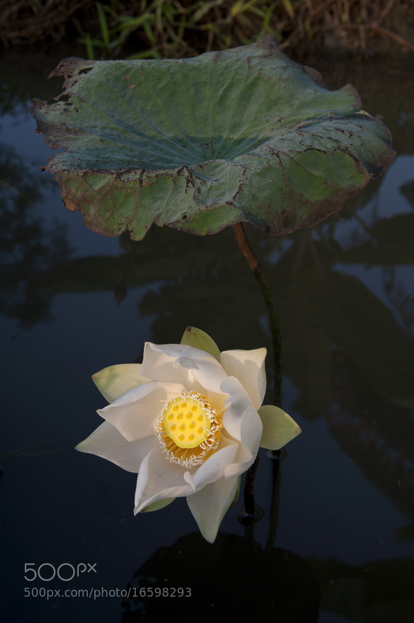 Photograph October lotus - second day by taya liu on 500px