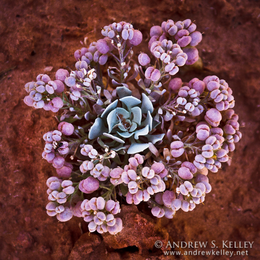 Photograph Desert Rose by Andrew Kelley on 500px