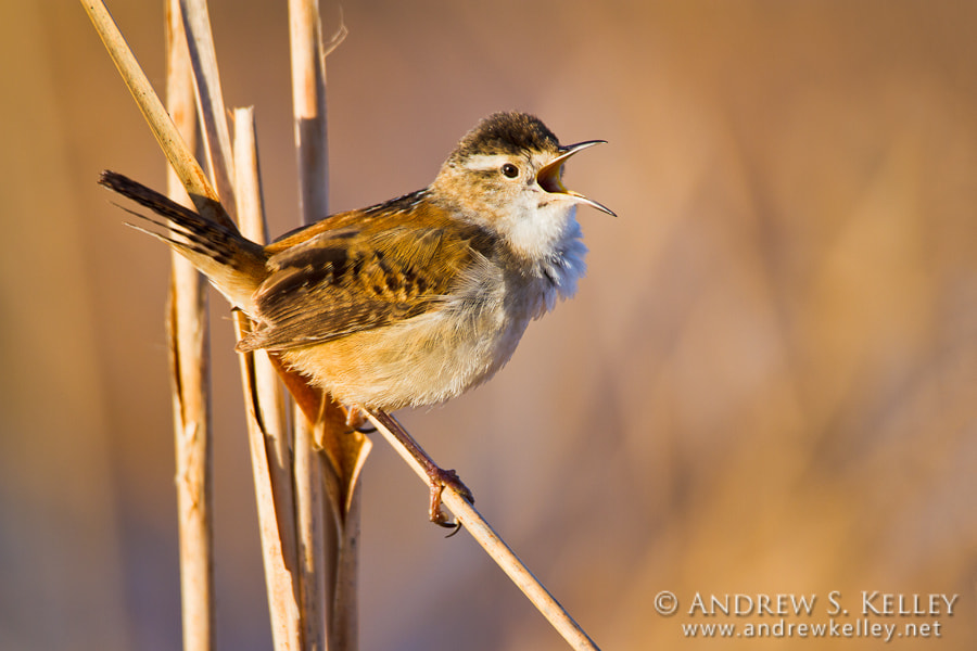 Photograph Marsh Wren by Andrew Kelley on 500px