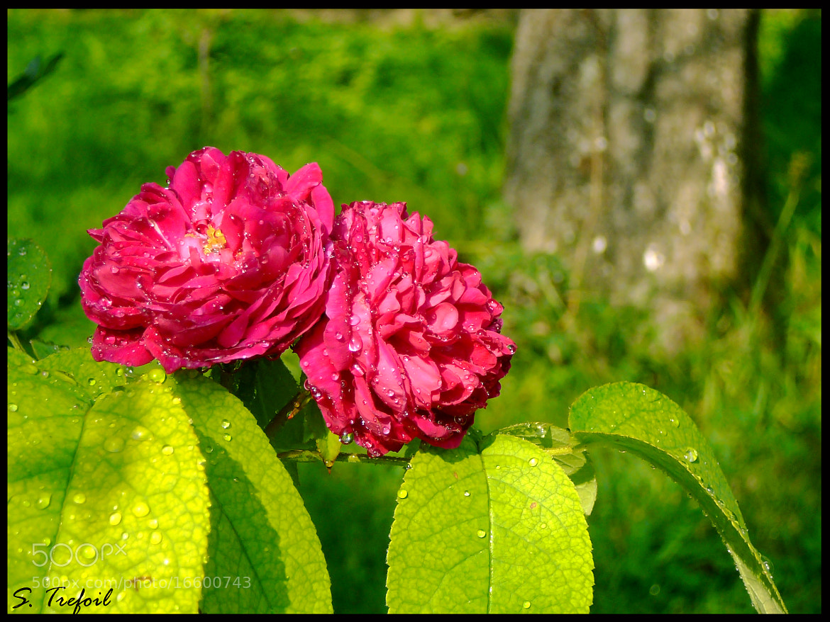 Photograph The rose by Simeon Trefoil on 500px
