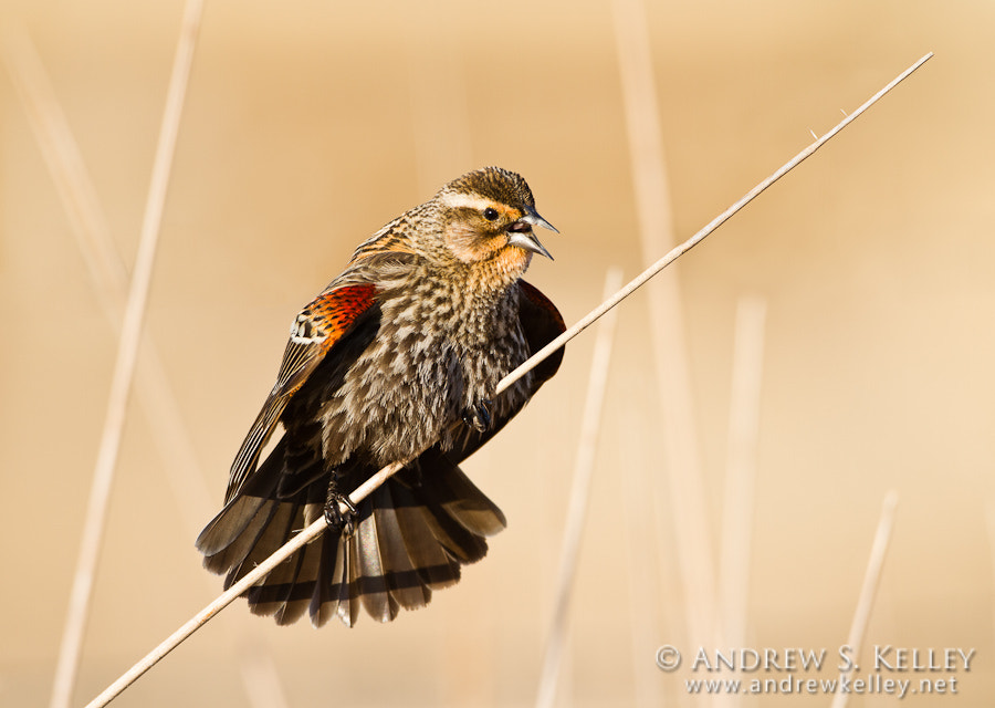 Photograph Immature Red-winged Blackbird by Andrew Kelley on 500px