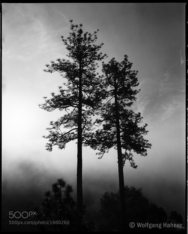 Photograph Ponderosa Pines by Wolfgang Hahner on 500px