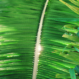 Cohune Palm Frond by JC Shamrockah (Shamrockah)) on 500px.com