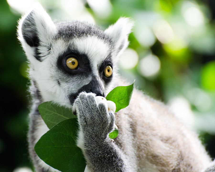 Photograph Lemur by Christina Skov on 500px
