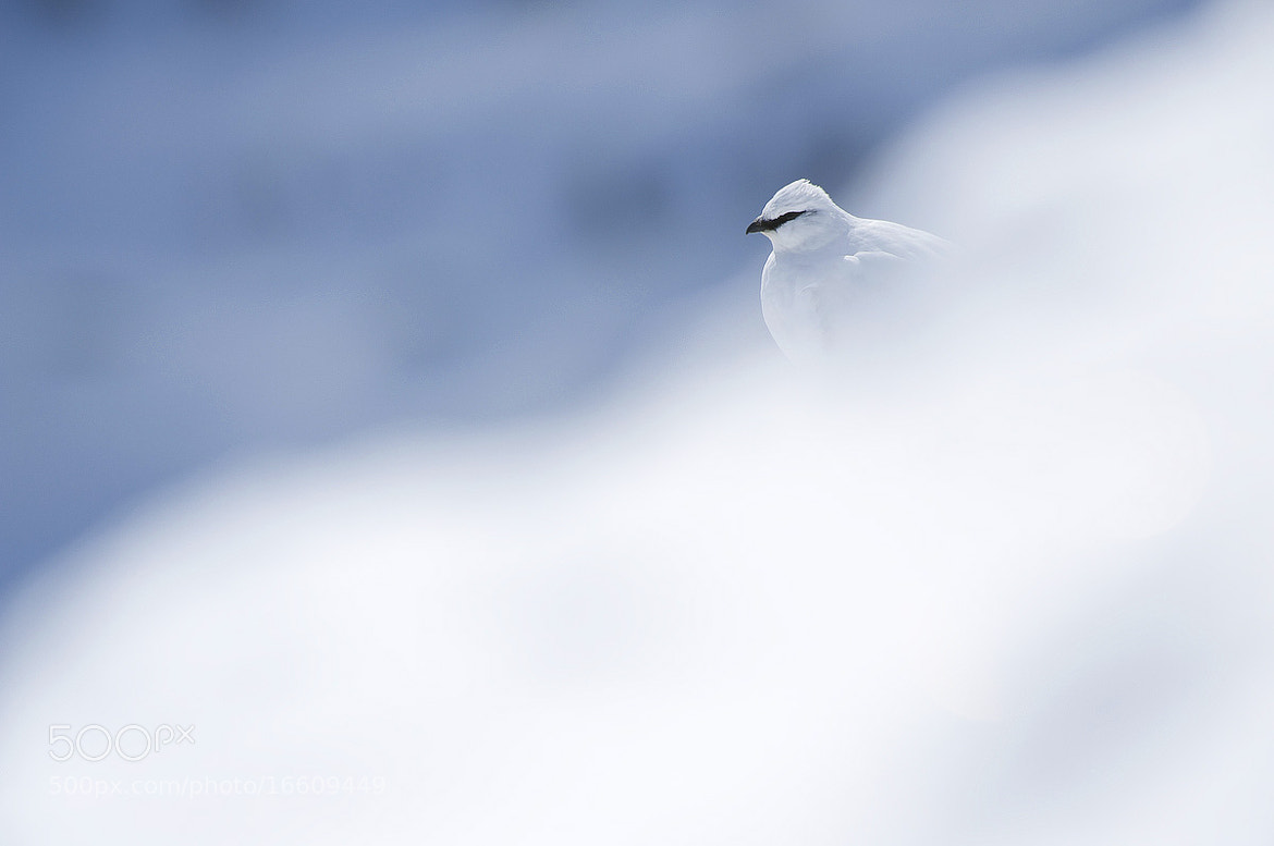 Photograph Ptarmigan by Sebastien De Danieli on 500px