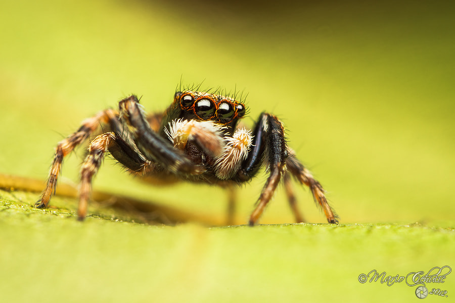Photograph Pseudeophrys lanigera male jumping spider by Mario Čehulić on 500px