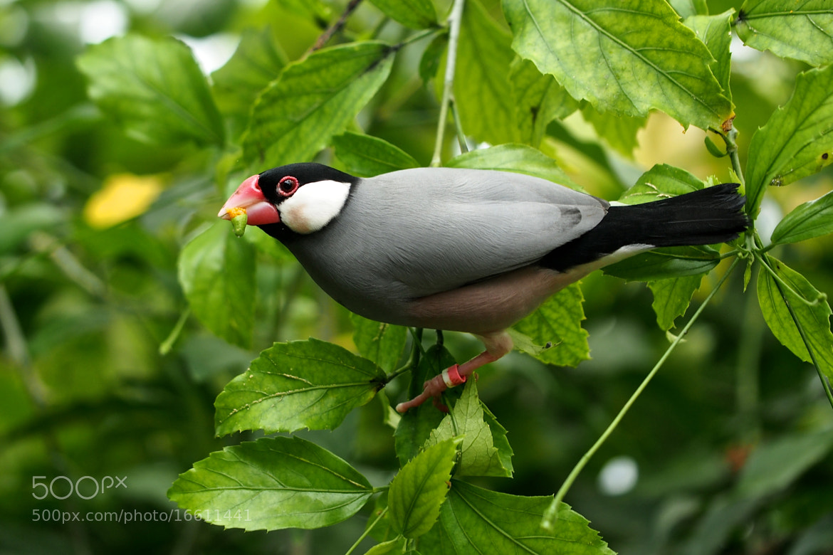Photograph Java Sparrow by John Purchase on 500px