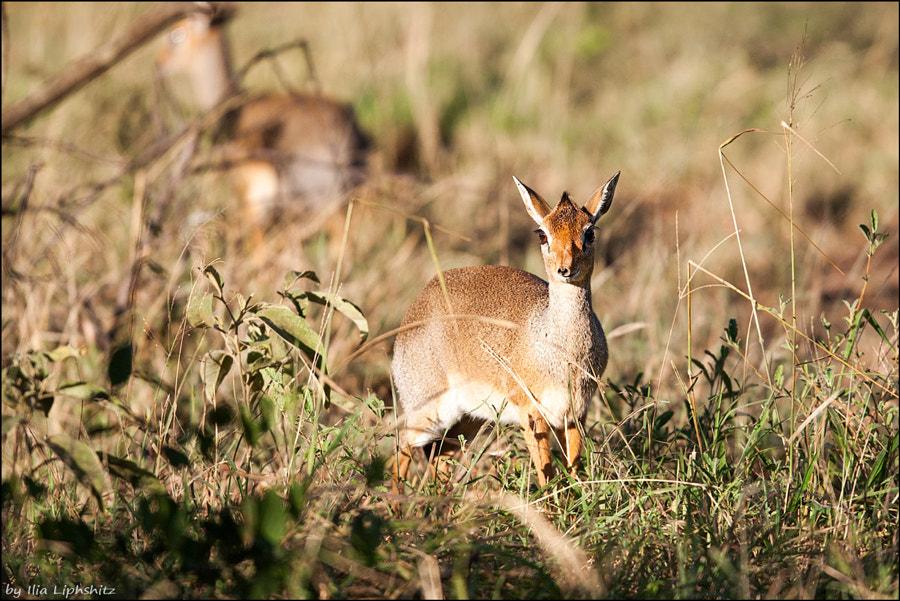 Dik-diks of Serengeti №1