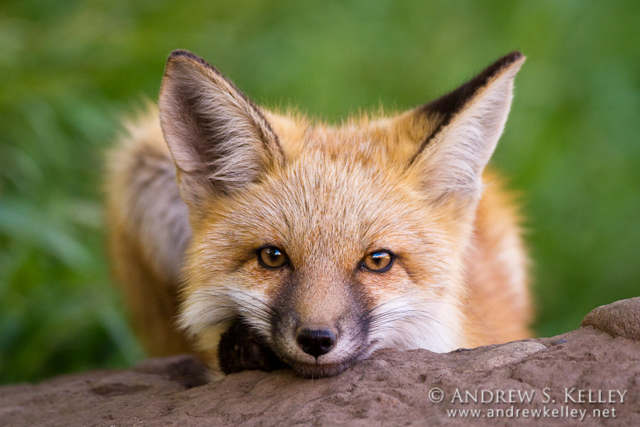 Photograph Juvenile Red Fox by Andrew Kelley on 500px