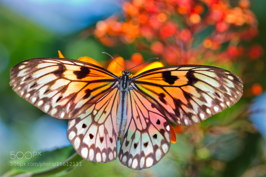 A backlit Paper Kite captured at Butterfly World, Coconut Creek, Florida.