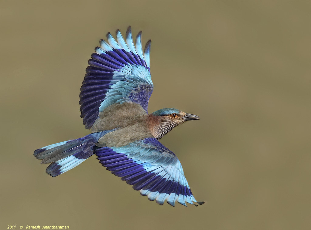 Photograph Indian Roller by Ramesh Anantharaman on 500px