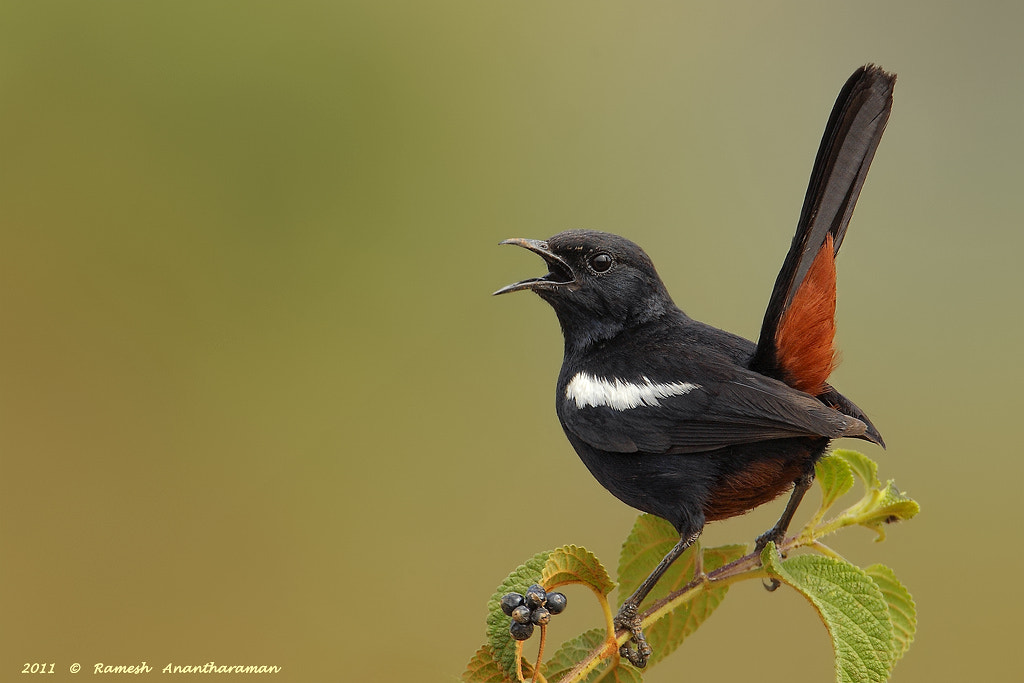 Photograph Indian Robin by Ramesh Anantharaman on 500px