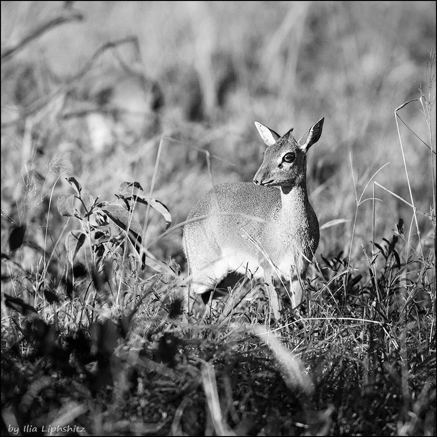 Dik-diks of Serengeti №2