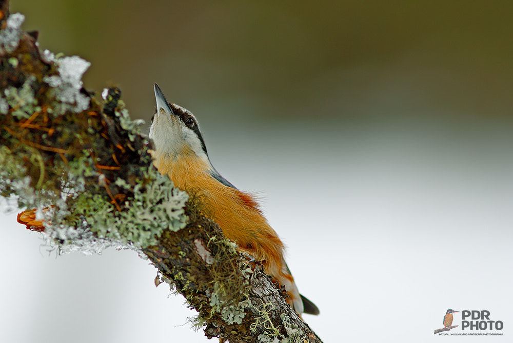 Photograph Eurasian Nuthatch by PdR Photo on 500px