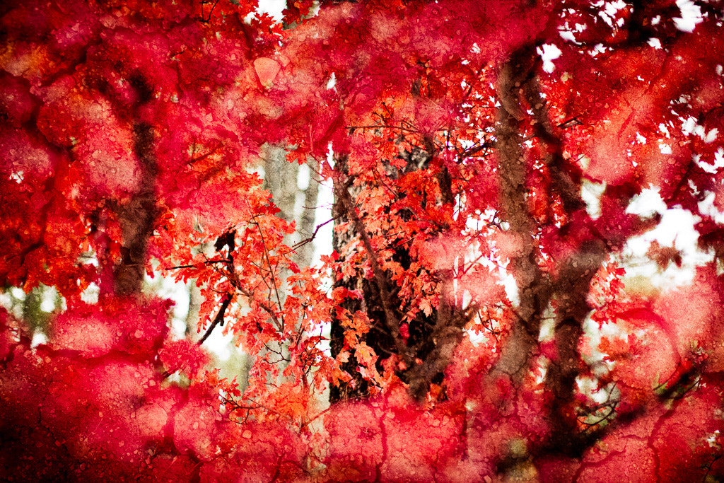 Photograph Maple Art by Emily Mulder on 500px