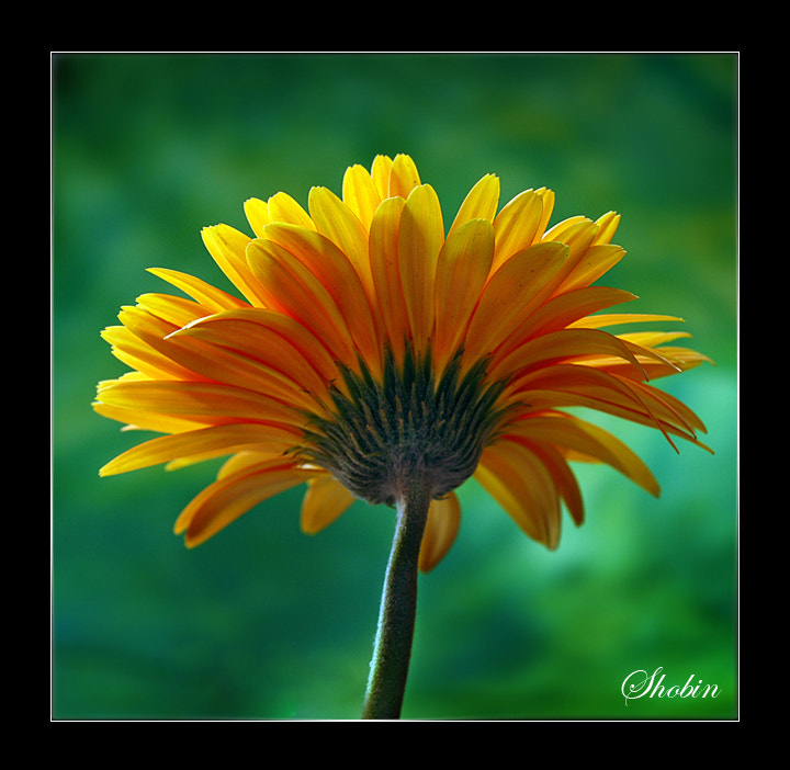 Photograph Flower by Shobin George on 500px