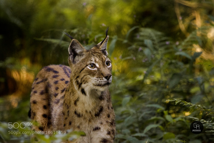 Photograph Lynx by Simon Ruess & Markus Graze on 500px
