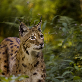 Lynx by Simon Ruess & Markus Graze (grphotographs)) on 500px.com
