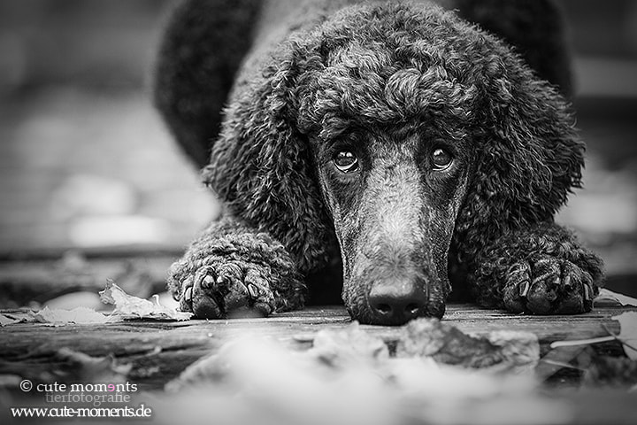 Photograph poodle by Jessica Lipki on 500px