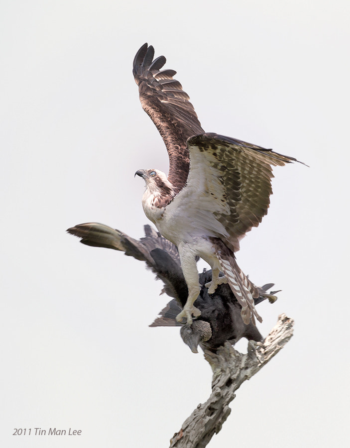 Photograph Osprey Vanquishing Vulture by Tin Man on 500px