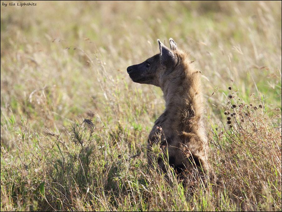 Hyenas of Serengeti №1