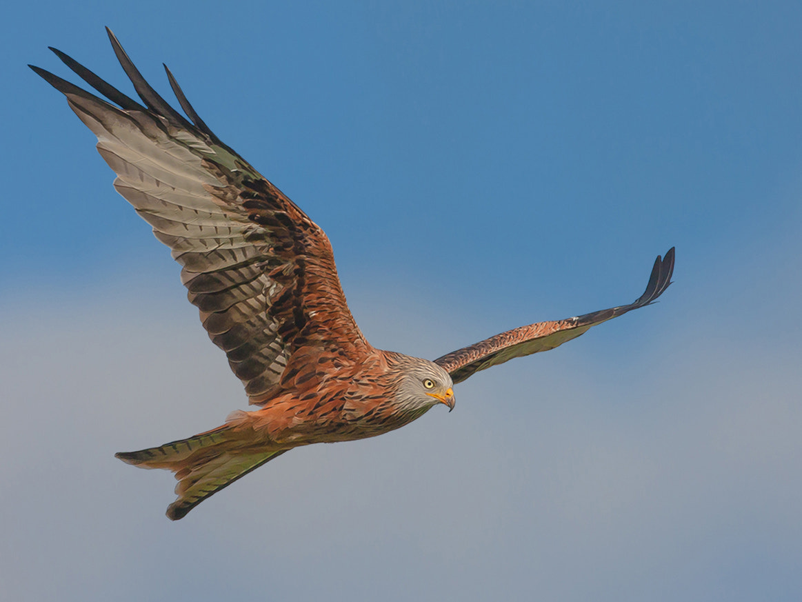 Photograph Red Kite by TomMelton on 500px