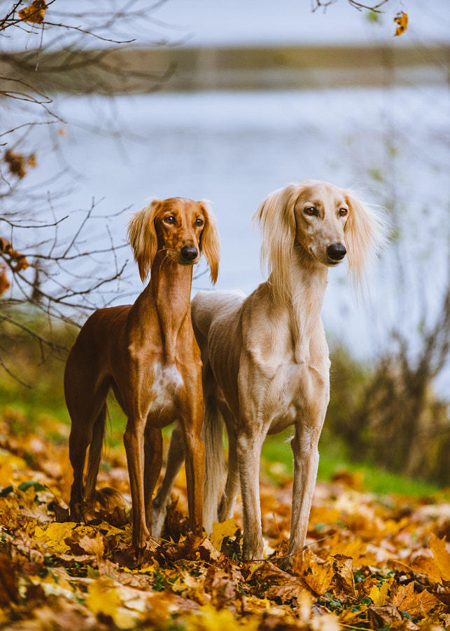 Two salukis by Artem Sapegin on 500px.com