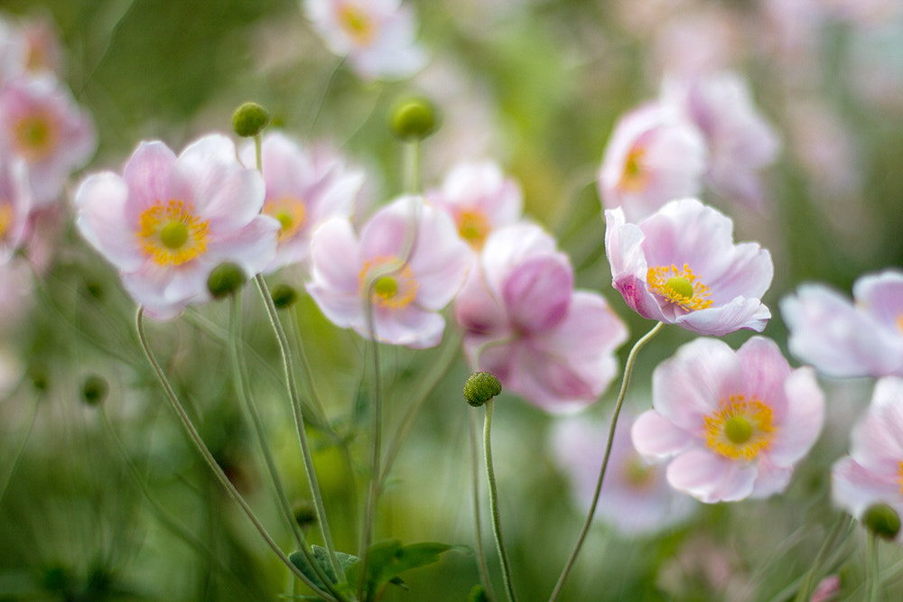 Photograph Anemones by Mandy Disher on 500px