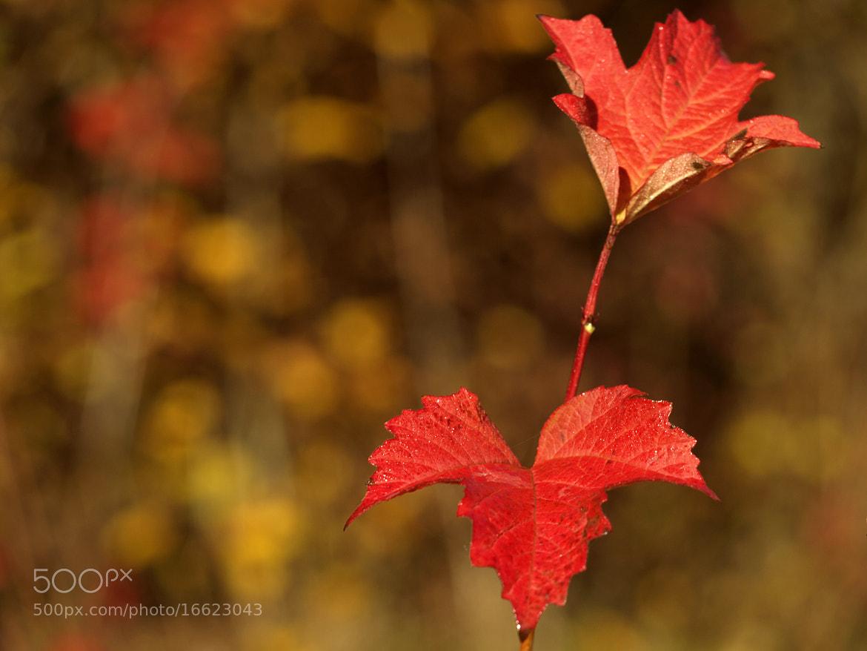 Photograph Autumn Leaf by Gabriel Ciora-Márkus on 500px