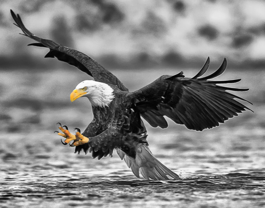 Bald Eagle Hunting Qualicum For Supper by Matt MacDonald on 500px.com