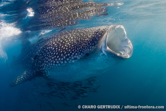 Photograph Whale Shark  by Charo Gertrudix on 500px