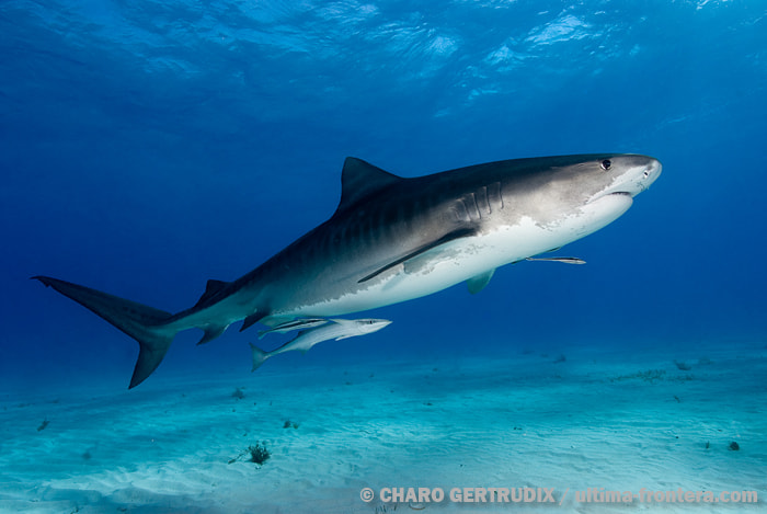 Photograph Tiger shark by Charo Gertrudix on 500px