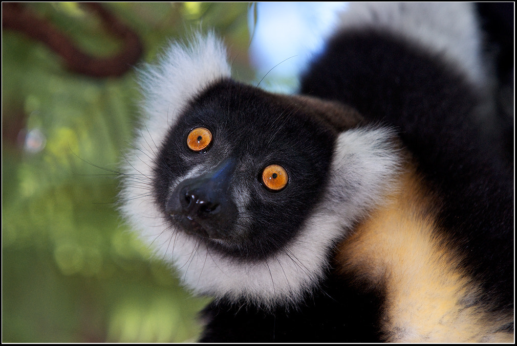 Photograph Black and White Lemur by Victor Podolyak on 500px