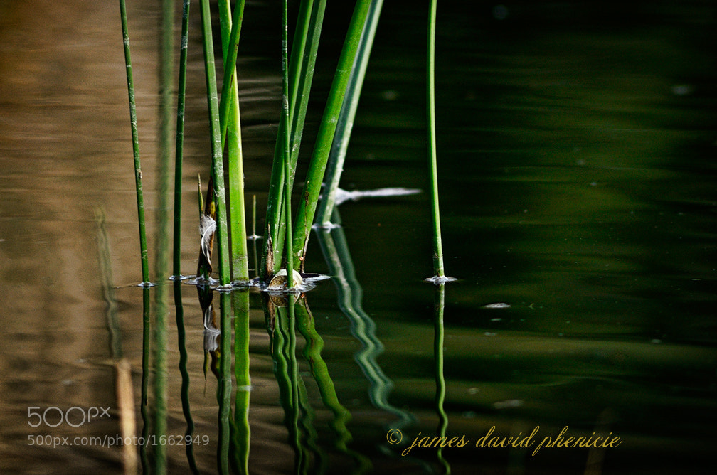 Photograph Reeds by James David Phenicie on 500px
