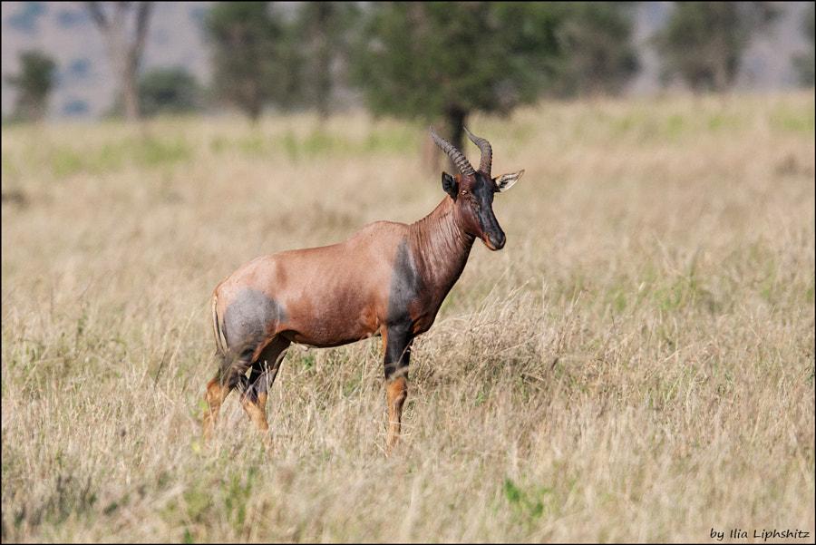 Topi of Serengeti №1