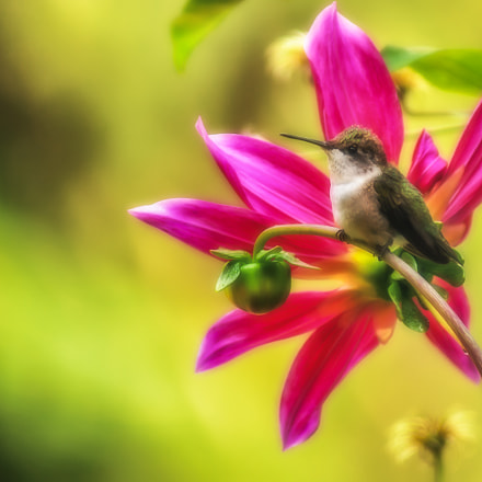 Female Ruby-throated Hummingbird on, Sony DSLR-A350, Tamron SP AF 200-500mm F5.0-6.3 Di LD IF