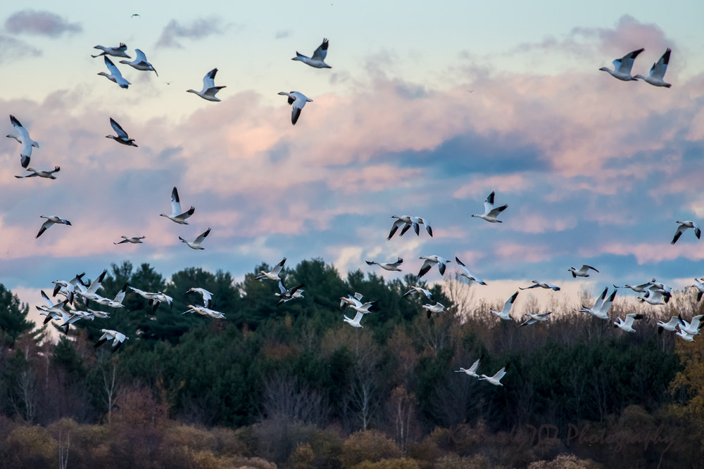 Photograph Snow Geese at Sunset by Wendy Kennedy on 500px