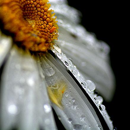 Daisy.....