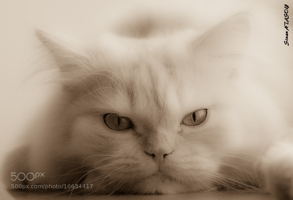 Photograph Simba by Sinan Atasoy on 500px