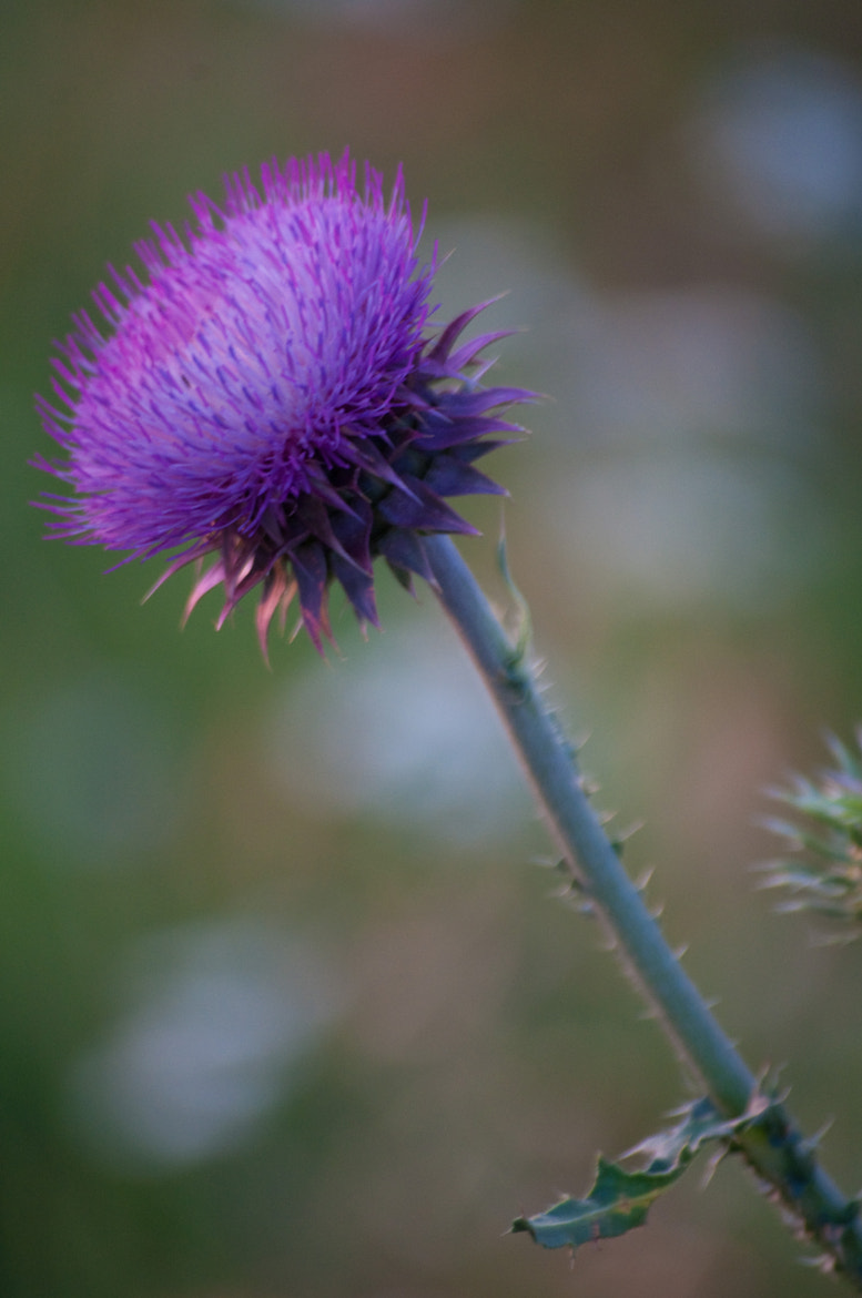 Photograph Thistle by Nicole McDaniel on 500px