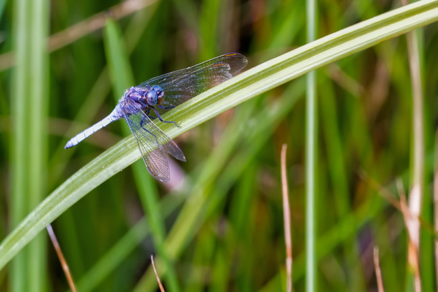 Blue Dragonfly by Gildas Cuisinier on 500px.com