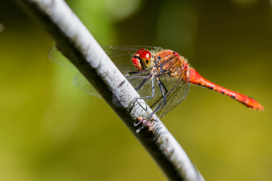 Red dragonfly by Gildas Cuisinier on 500px.com