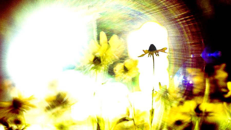Midnight Blackeyed Susan Explosion by Jeff Carter on 500px.com