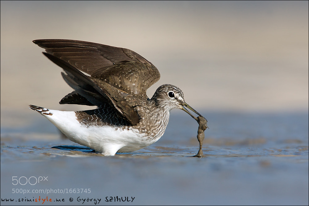 Photograph Green Sandpiper (Tringa ochropus) by Gyorgy Szimuly on 500px