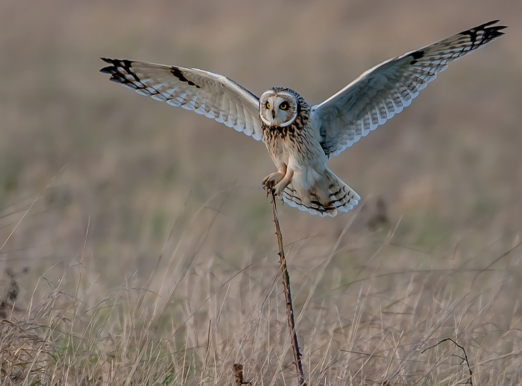 Photograph Short eared owl by TomMelton on 500px